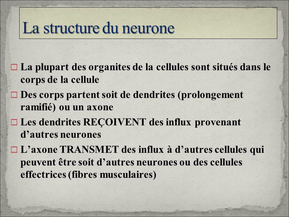 La structure du neurone