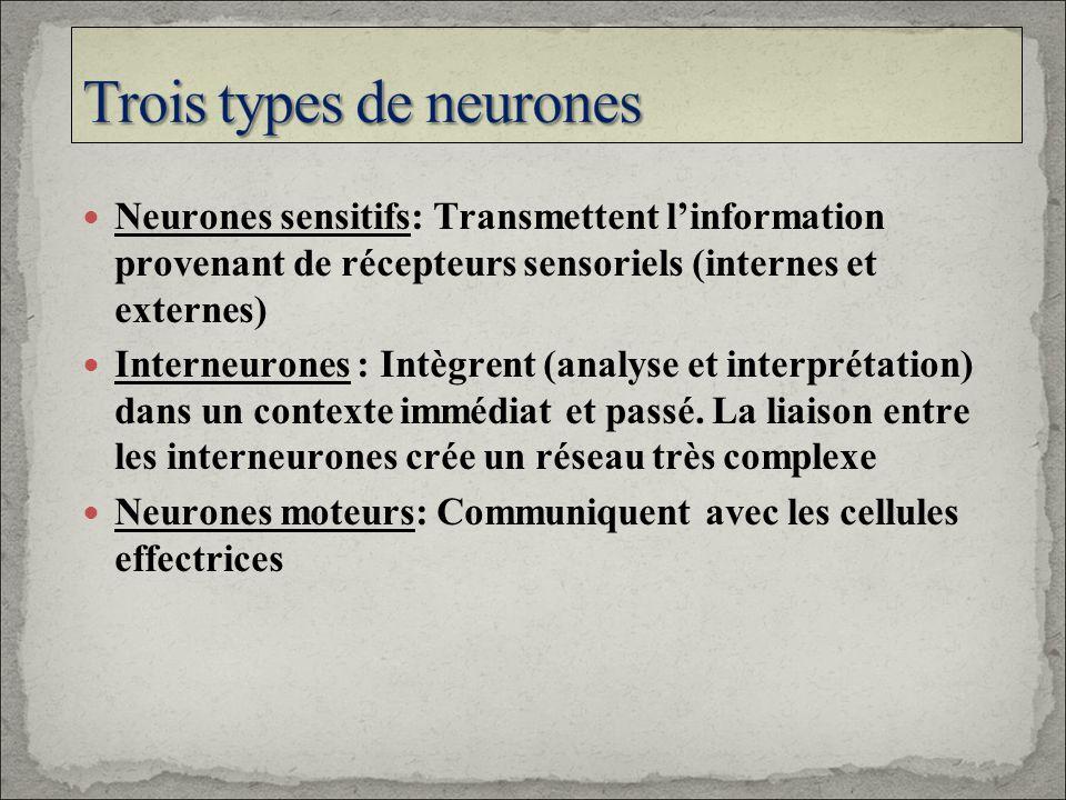 Trois types de neurones