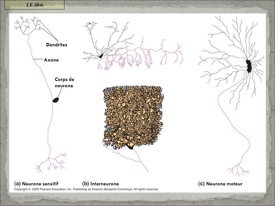 LE 48-6 Dendrites Axone Corps de neurone Neurone sensitif Interneurone Neurone moteur