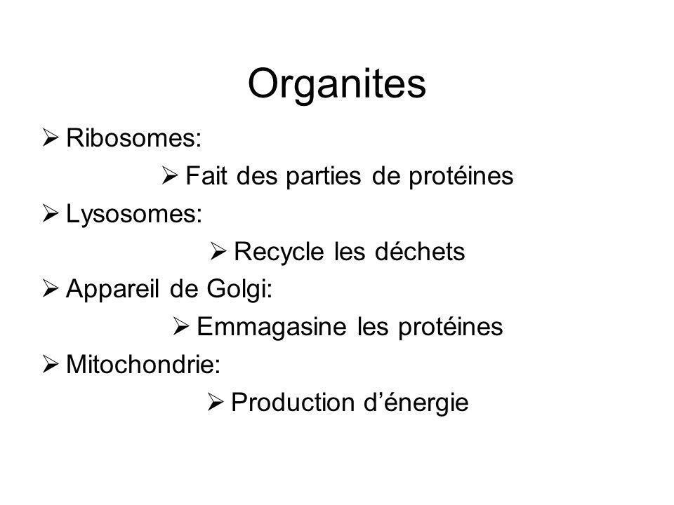 Organites Ribosomes: Fait des parties de protéines Lysosomes:
