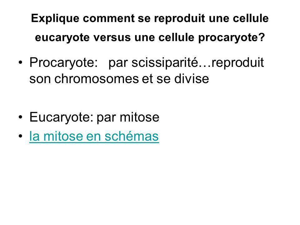 Procaryote: par scissiparité…reproduit son chromosomes et se divise