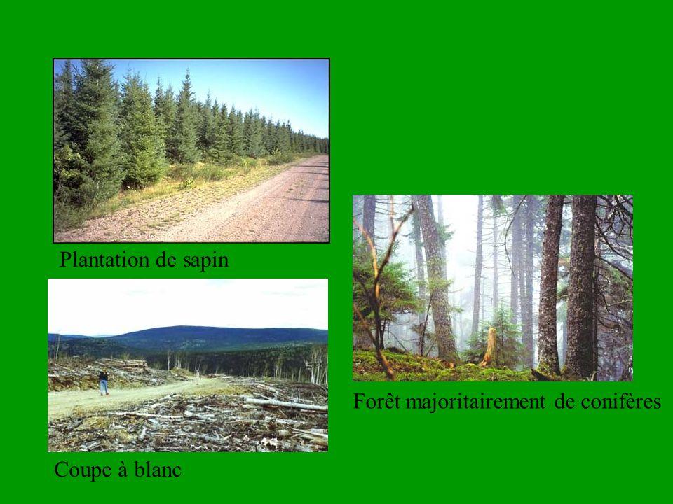 Plantation de sapin Forêt majoritairement de conifères Coupe à blanc
