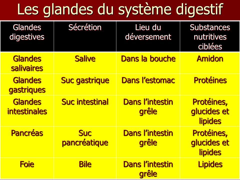 Les glandes du système digestif