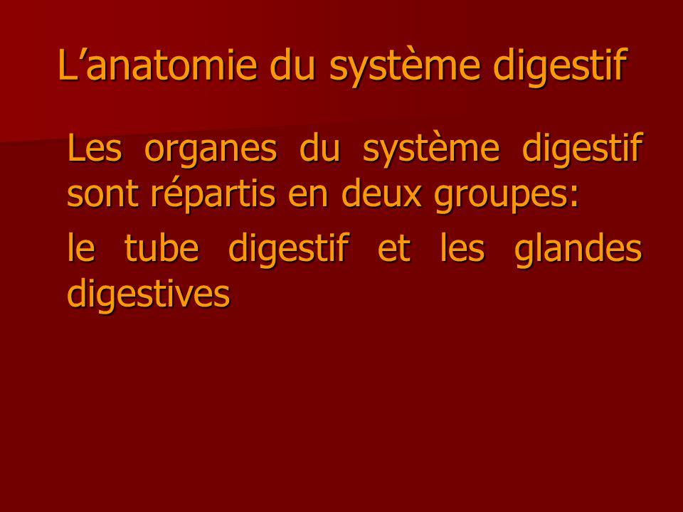 L'anatomie du système digestif