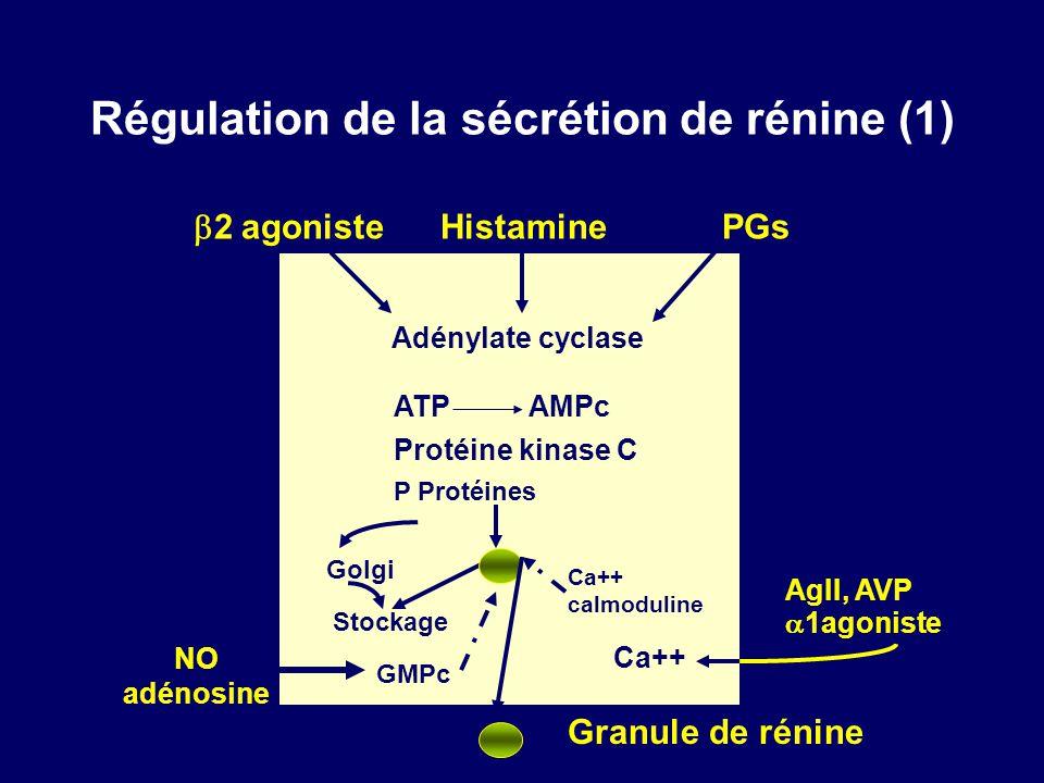 Régulation de la sécrétion de rénine (1)