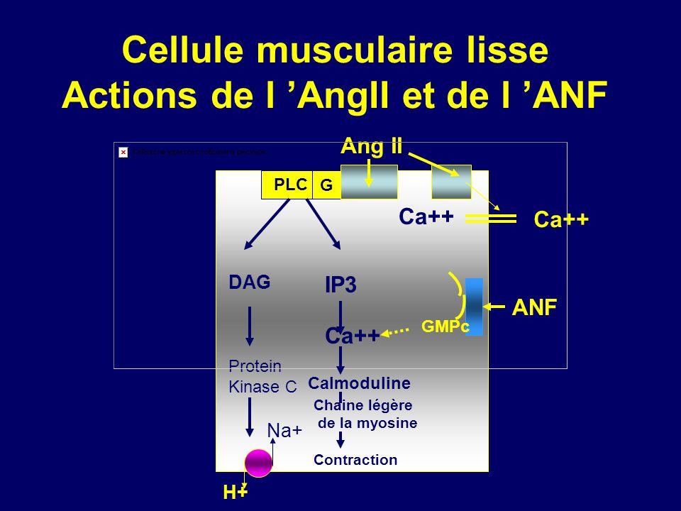 Cellule musculaire lisse Actions de l 'AngII et de l 'ANF