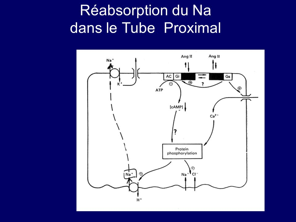 Réabsorption du Na dans le Tube Proximal