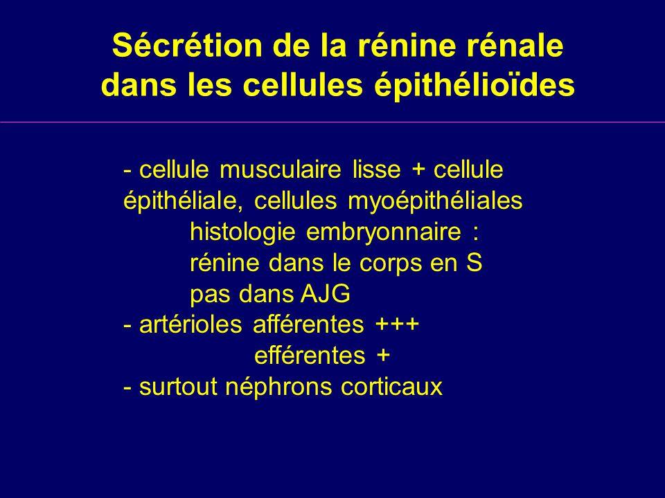 Sécrétion de la rénine rénale dans les cellules épithélioïdes
