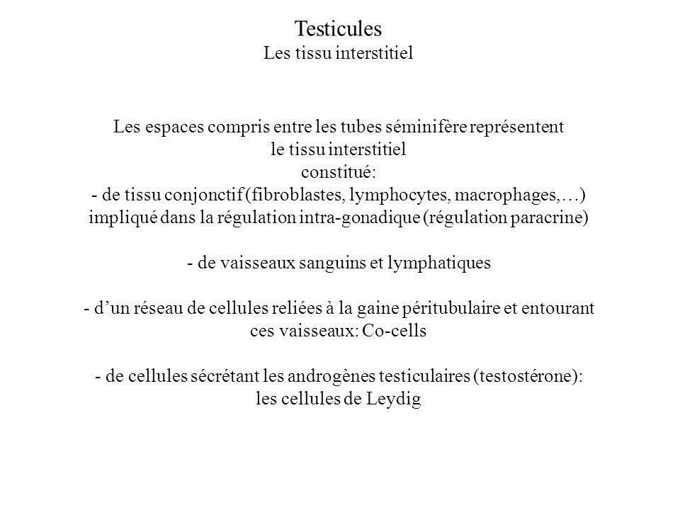 Testicules Les tissu interstitiel