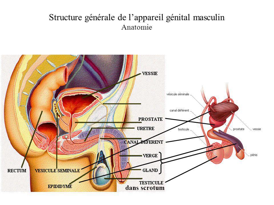 Structure générale de l'appareil génital masculin
