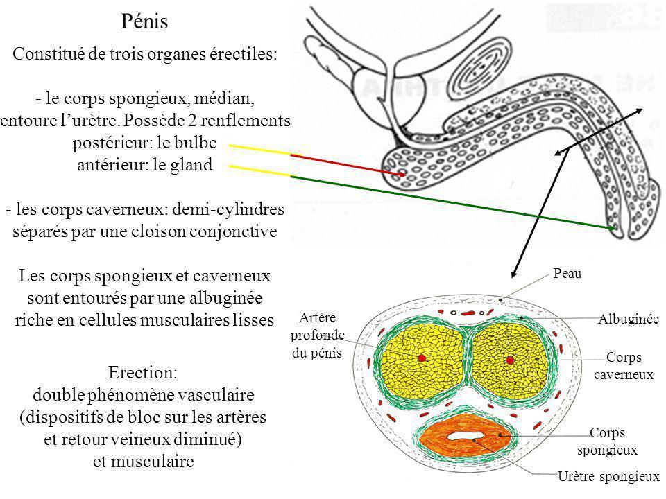 Pénis Constitué de trois organes érectiles: