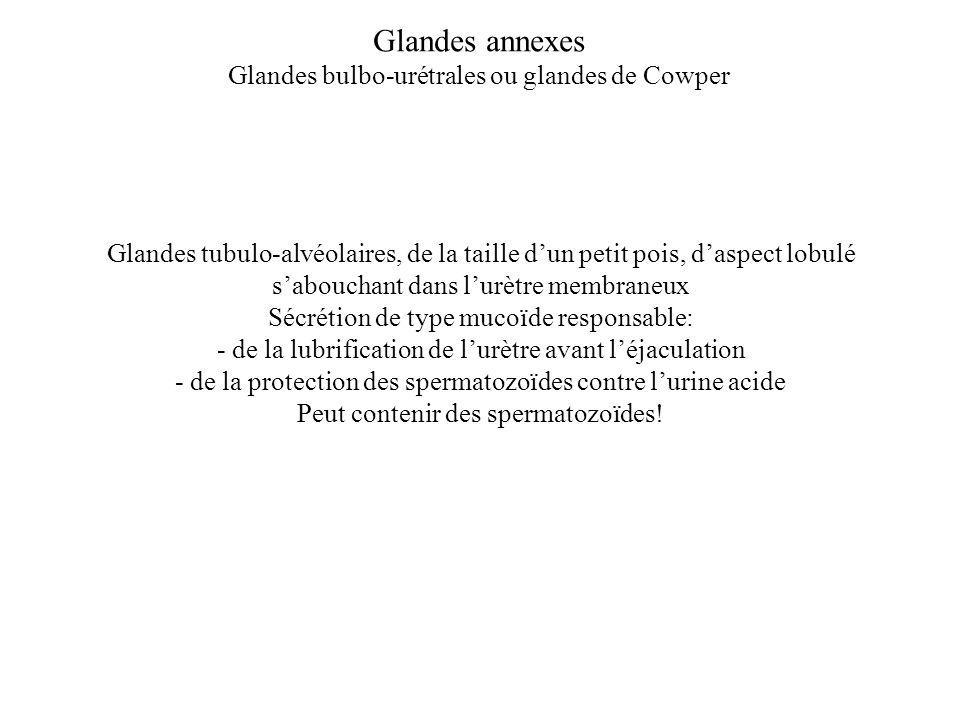 Glandes annexes Glandes bulbo-urétrales ou glandes de Cowper