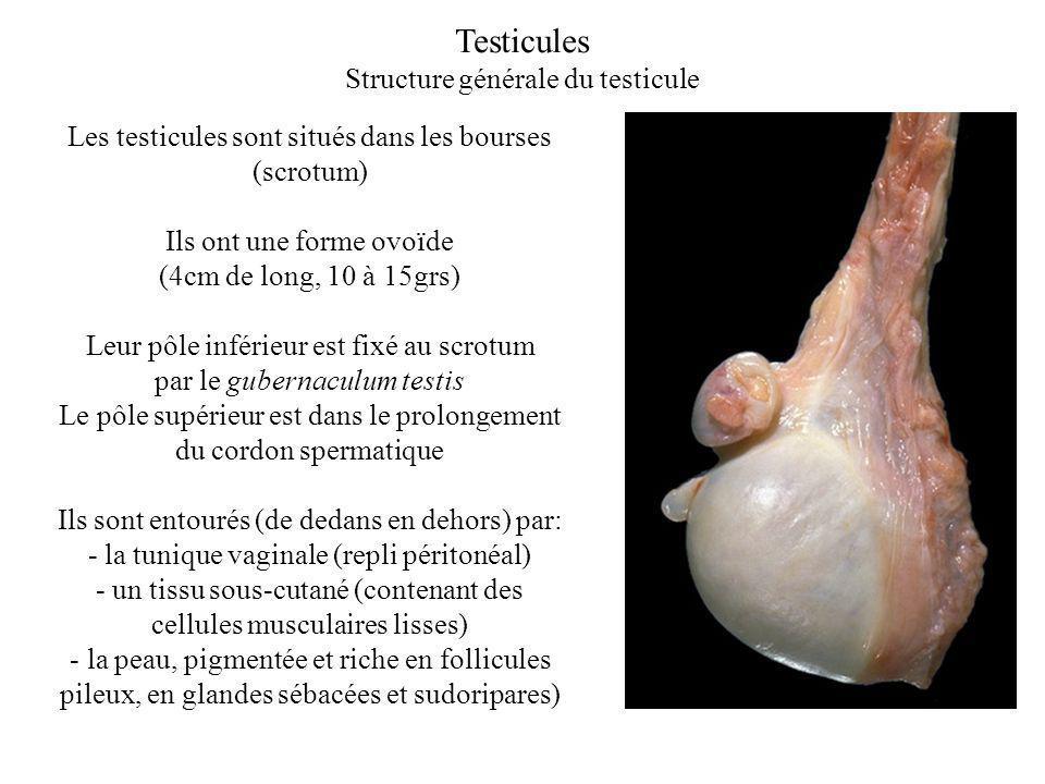 Testicules Structure générale du testicule
