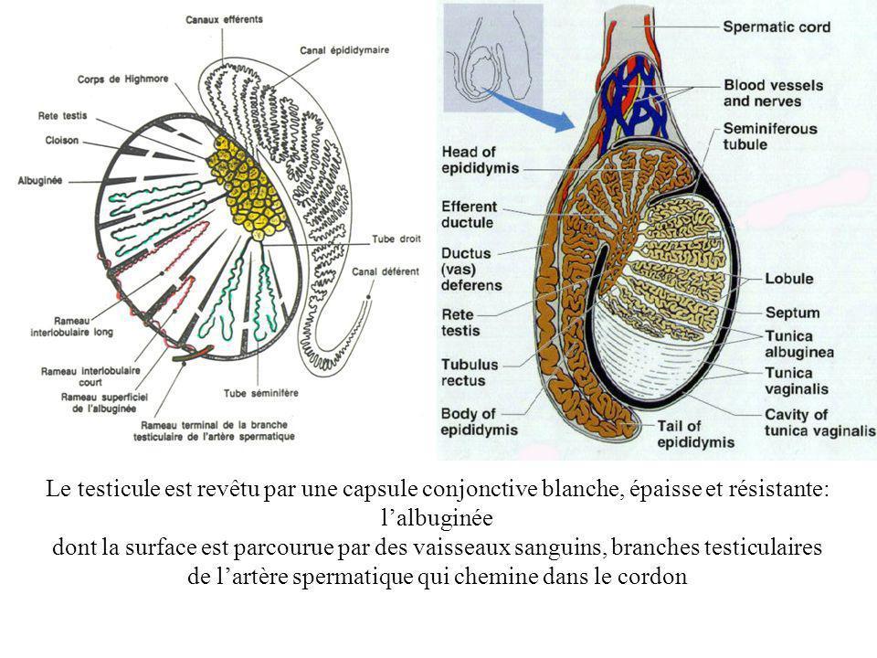 de l'artère spermatique qui chemine dans le cordon