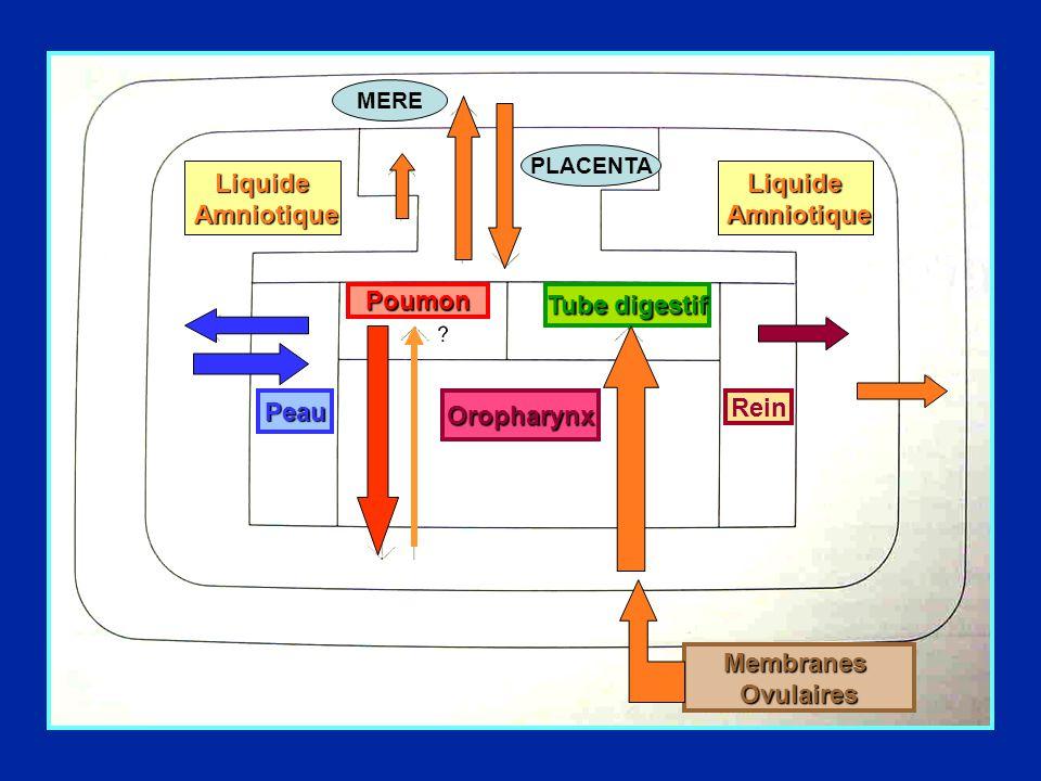 Liquide Amniotique Liquide Amniotique Poumon Tube digestif Peau