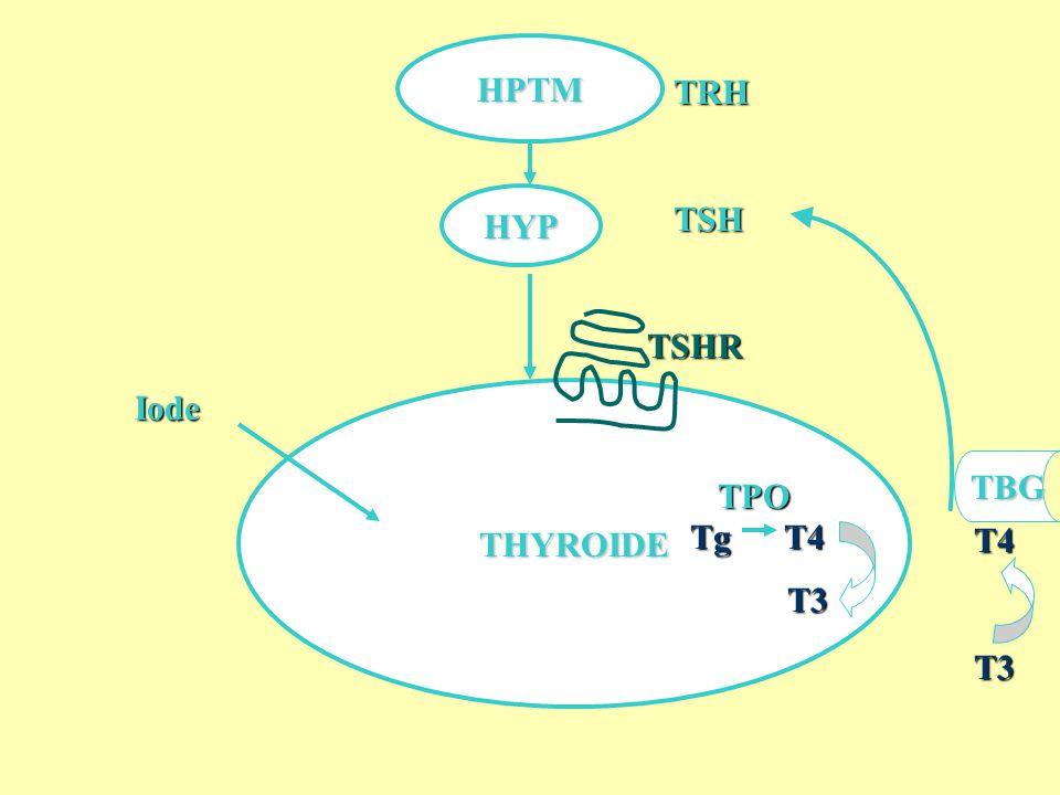 TRH TSH Tg T4 T3 HPTM HYP TSHR Iode THYROIDE TBG TPO T4 T3