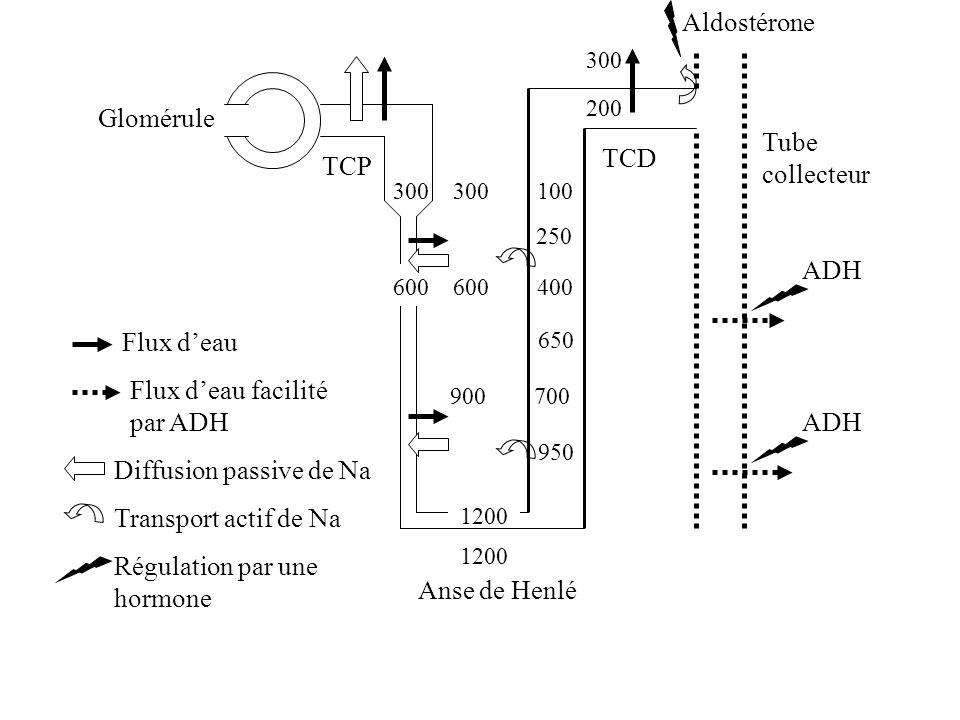 Flux d'eau facilité par ADH ADH