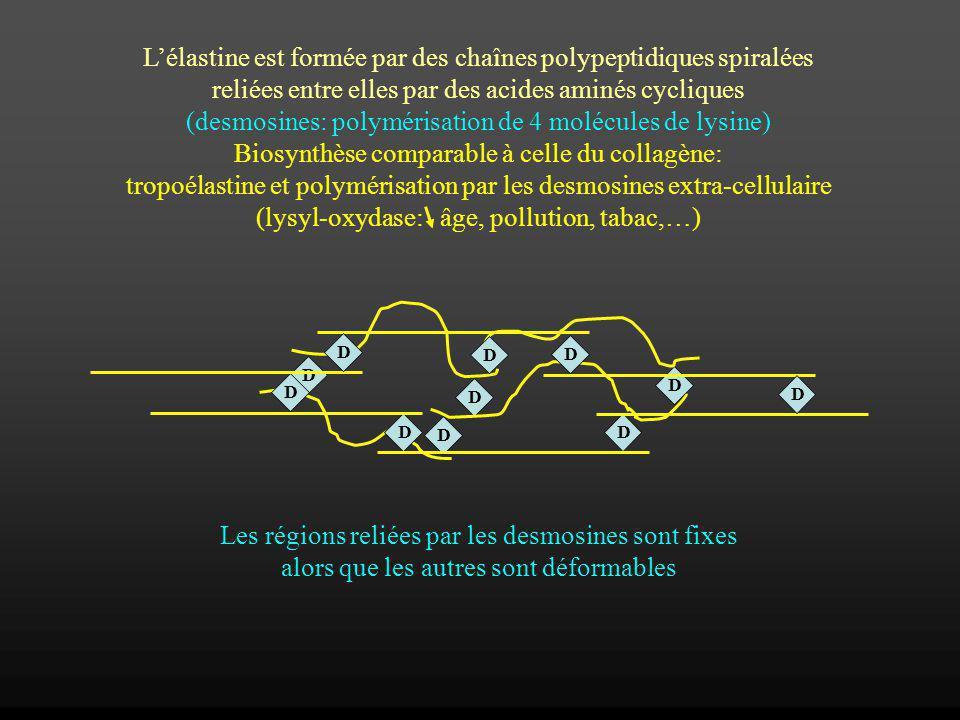L'élastine est formée par des chaînes polypeptidiques spiralées