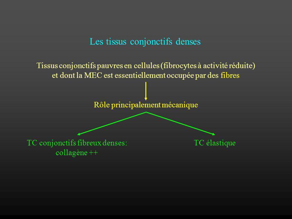 Les tissus conjonctifs denses