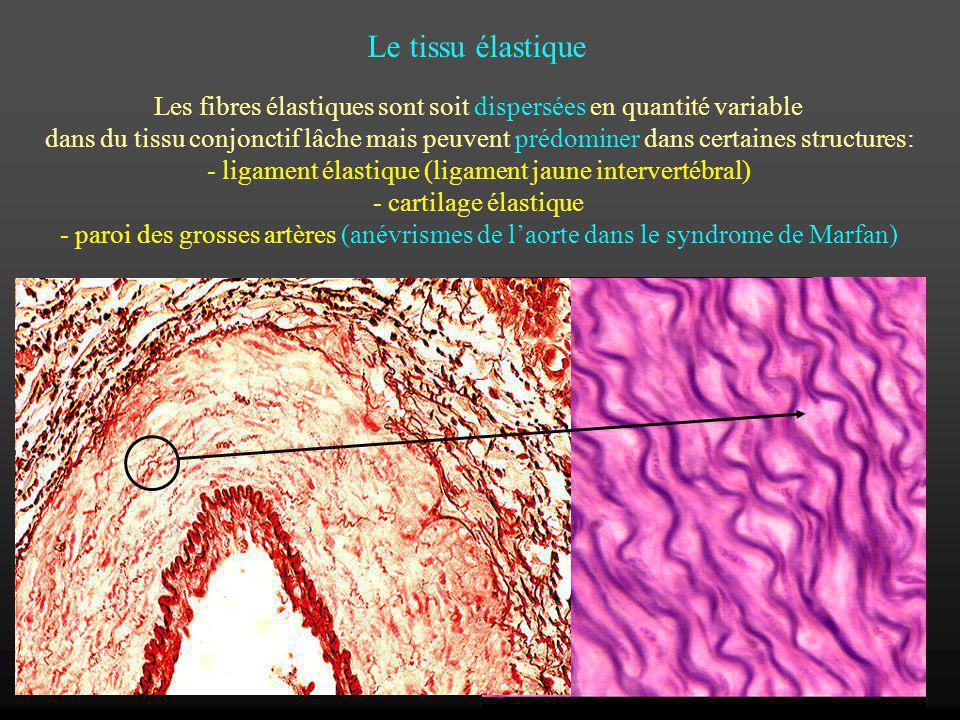 Le tissu élastique Les fibres élastiques sont soit dispersées en quantité variable.