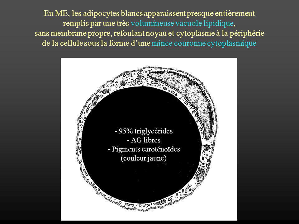 En ME, les adipocytes blancs apparaissent presque entièrement