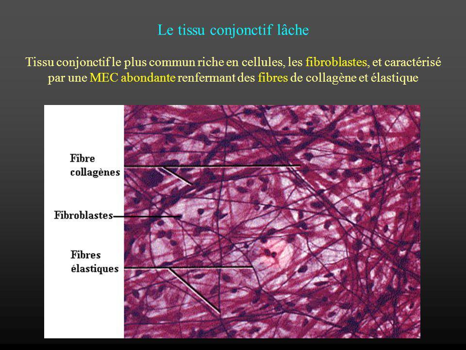 Le tissu conjonctif lâche