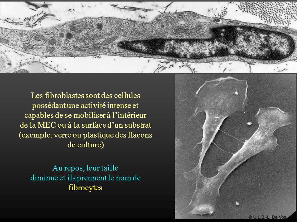 Les fibroblastes sont des cellules possédant une activité intense et