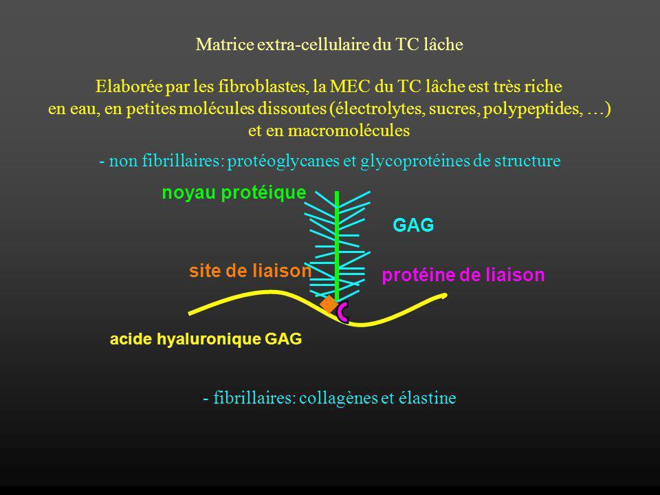 Elaborée par les fibroblastes, la MEC du TC lâche est très riche