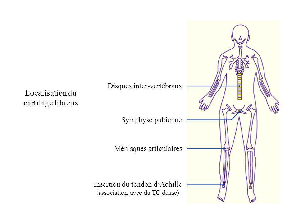 Localisation du cartilage fibreux Disques inter-vertébraux