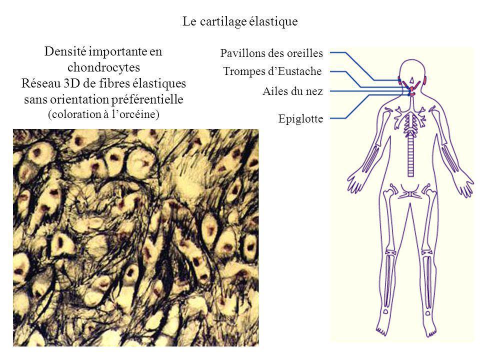 Le cartilage élastique