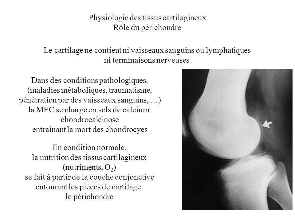 Physiologie des tissus cartilagineux Rôle du périchondre