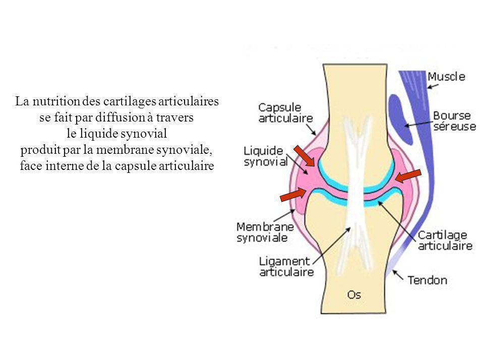 La nutrition des cartilages articulaires