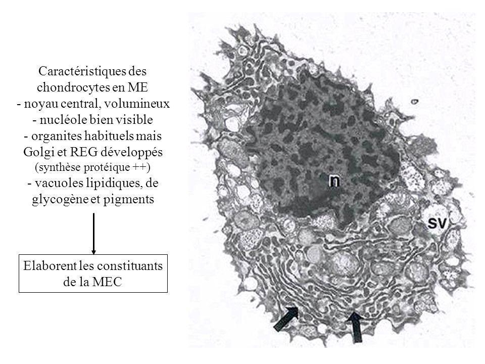 - noyau central, volumineux - nucléole bien visible