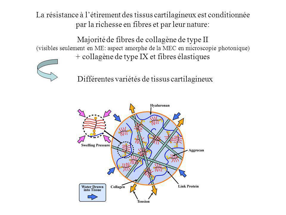 La résistance à l'étirement des tissus cartilagineux est conditionnée
