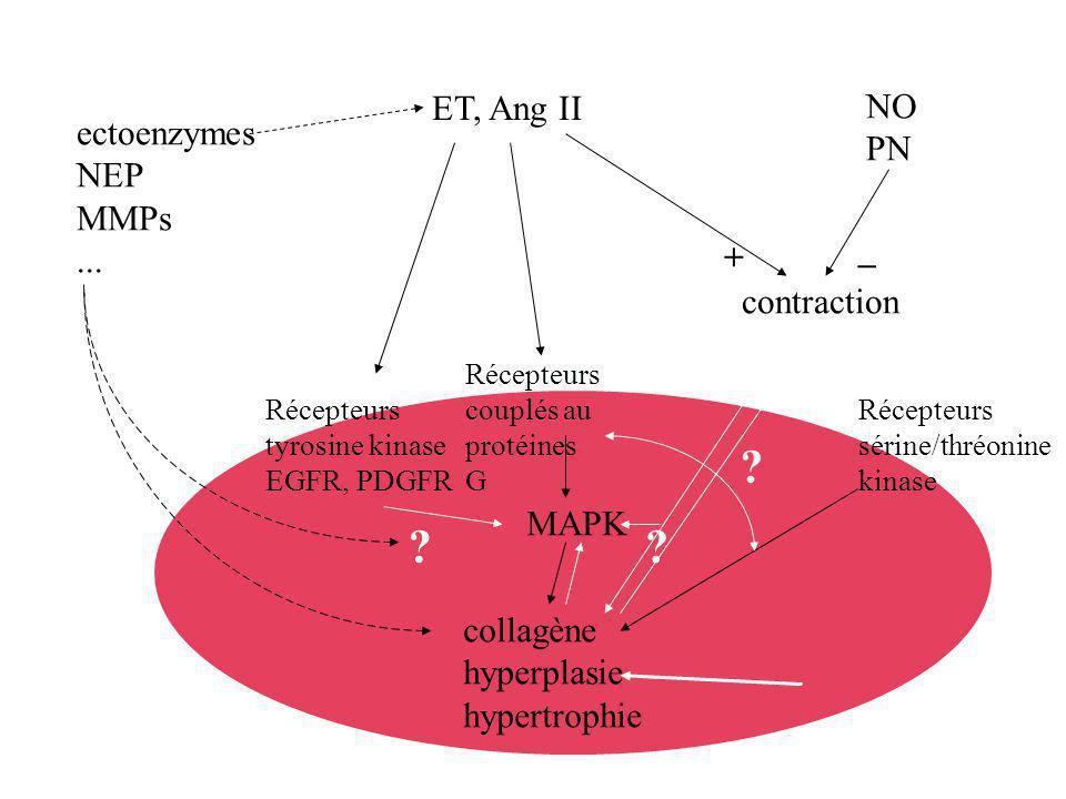 Origine ET, Ang II NO PN ectoenzymes NEP MMPs ... _ +