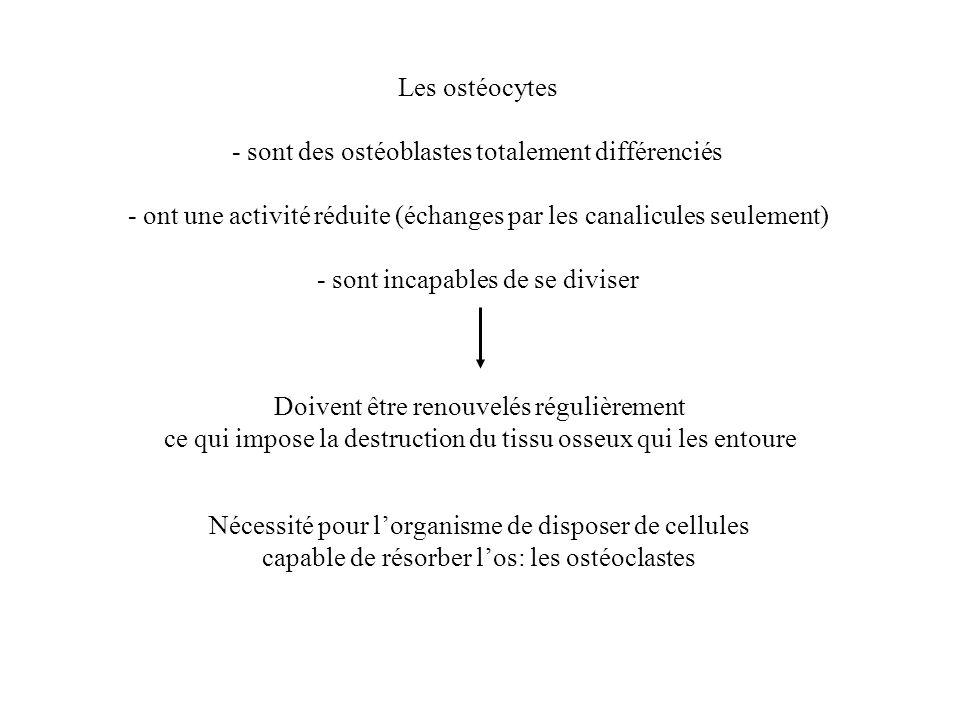 - sont des ostéoblastes totalement différenciés