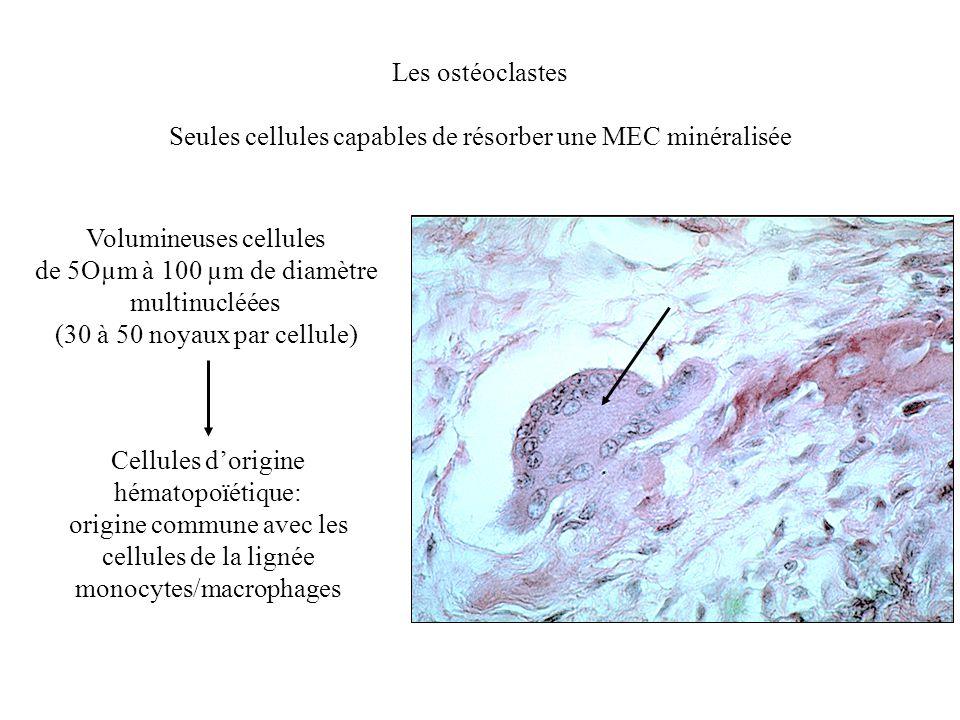 Seules cellules capables de résorber une MEC minéralisée