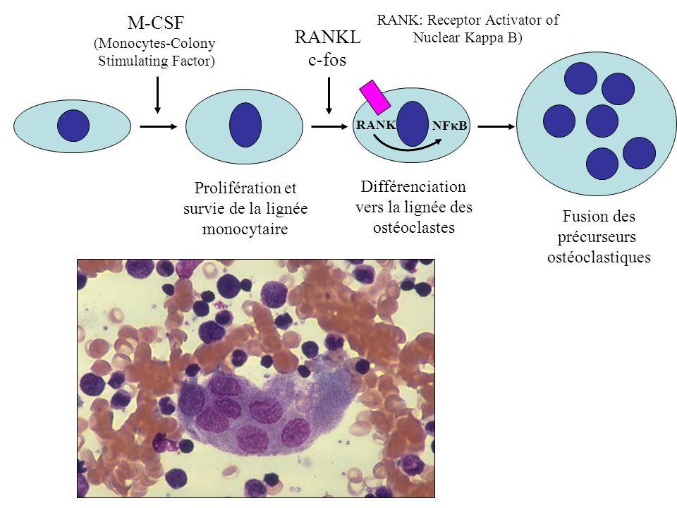 RANK: Receptor Activator of