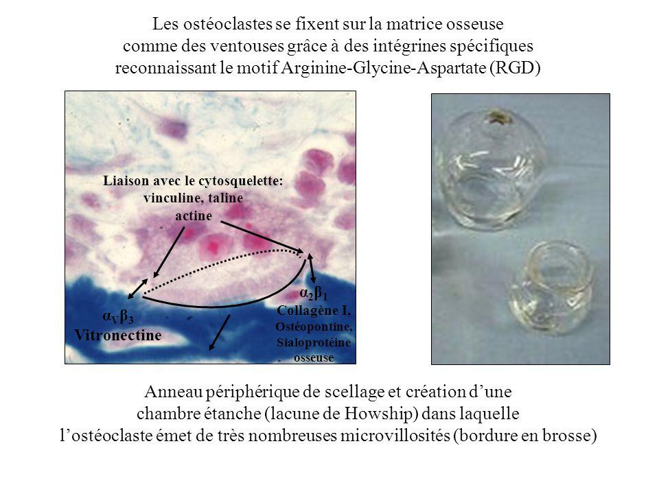 Liaison avec le cytosquelette: