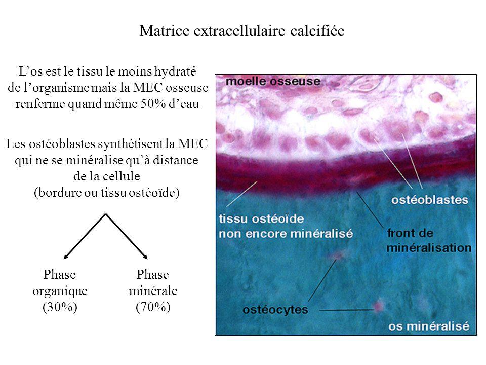 Matrice extracellulaire calcifiée