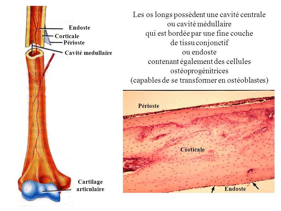 Les os longs possèdent une cavité centrale ou cavité médullaire