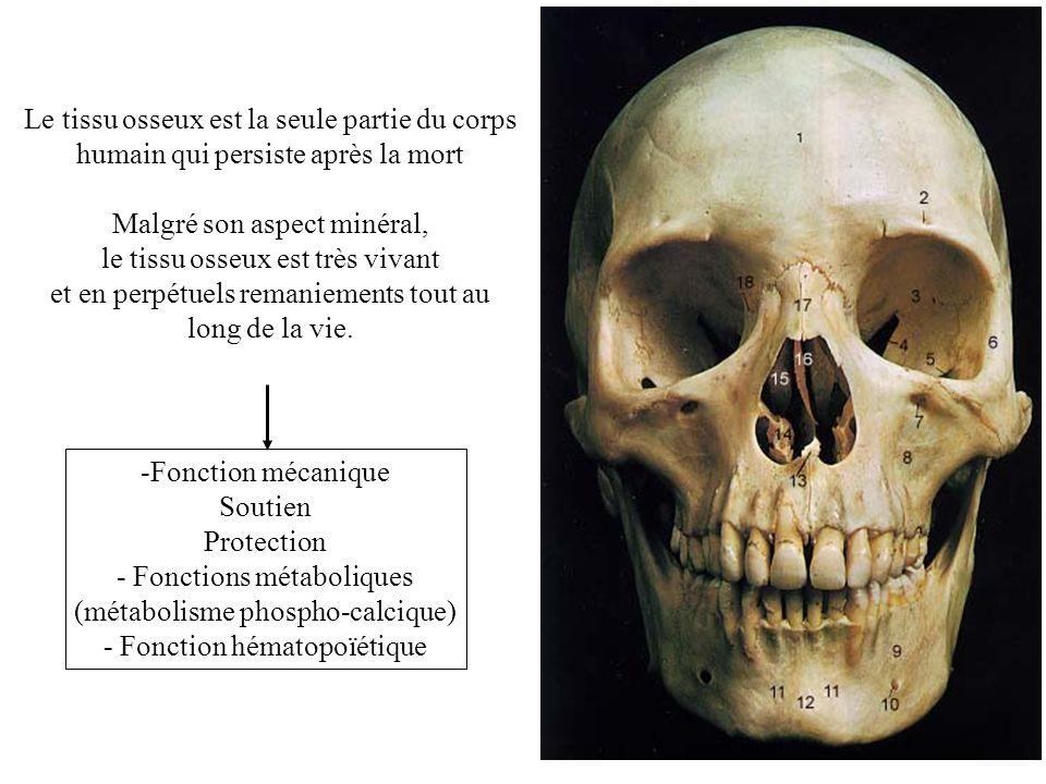 Le tissu osseux est la seule partie du corps