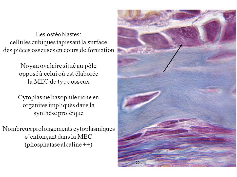 cellules cubiques tapissant la surface