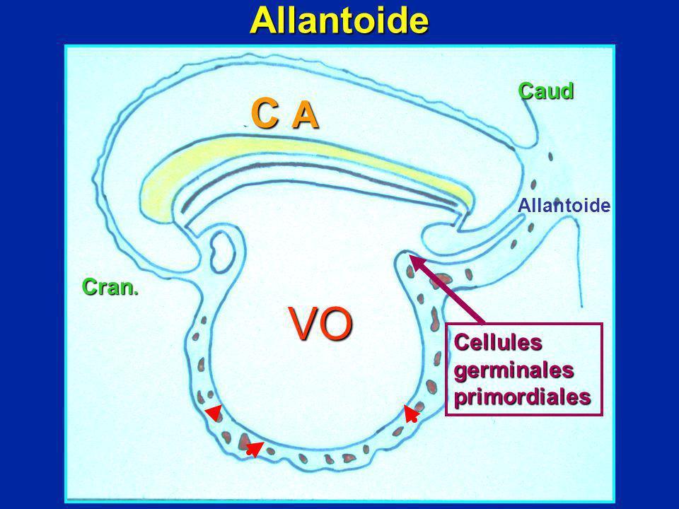 VO C A Allantoide Caud Cran. Cellules germinales primordiales