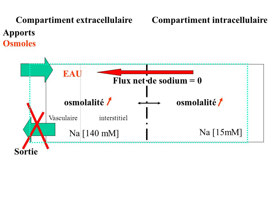 Compartiment extracellulaire Compartiment intracellulaire Apports