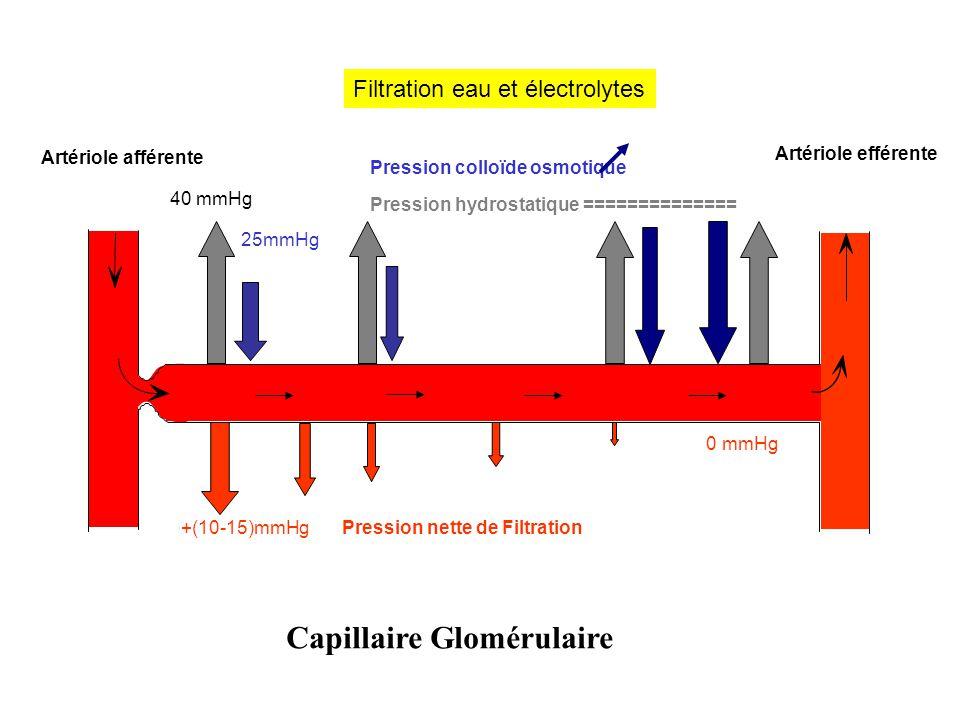 Capillaire Glomérulaire