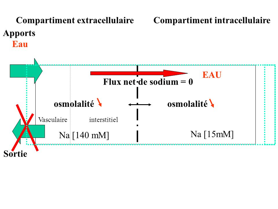 Compartiment extracellulaire Compartiment intracellulaire Apports Eau
