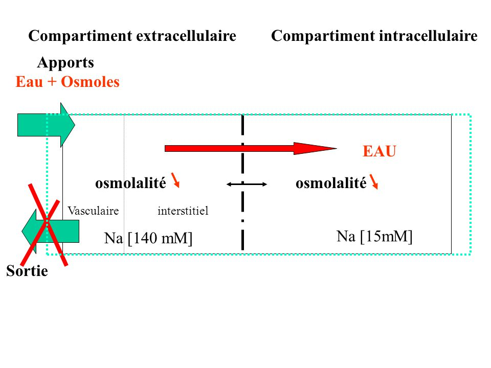 Compartiment extracellulaire Compartiment intracellulaire