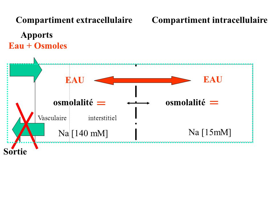 = = Compartiment extracellulaire Compartiment intracellulaire Apports