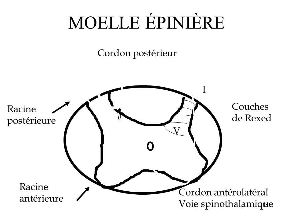 MOELLE ÉPINIÈRE Cordon postérieur I Couches Racine de Rexed